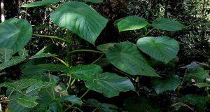 Tumbuhan Paling Beracun di Dunia Ini Ada di Maluku