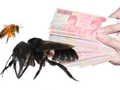 Lebah Raksasa Asal Maluku Dilelang Sampai Ratusan Juta copy