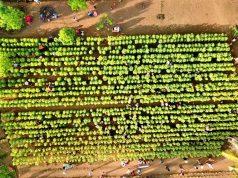 Pesona Kebun Bunga Matahari Pertama Di Maluku